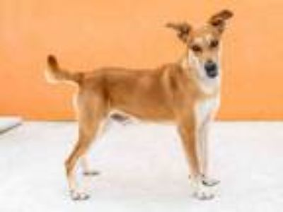 Adopt SHILO a Labrador Retriever, Mixed Breed