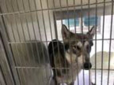 Adopt KEKOA a Gray/Silver/Salt & Pepper - with White Husky / German Shepherd Dog