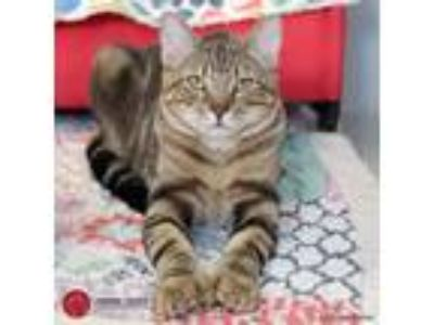 Adopt Captain a Brown Tabby Domestic Shorthair (short coat) cat in St.