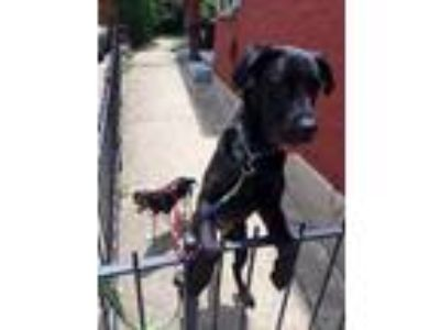 Adopt Tink - Courtesy Post* a Black Great Dane / Cane Corso / Mixed dog in