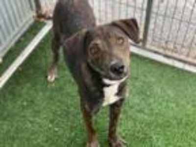 Adopt *JEN a Brindle - with White Catahoula Leopard Dog / Mixed dog in Austin