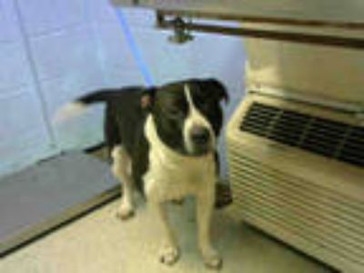 Adopt ROCKY a White - with Black American Staffordshire Terrier / Mixed dog in