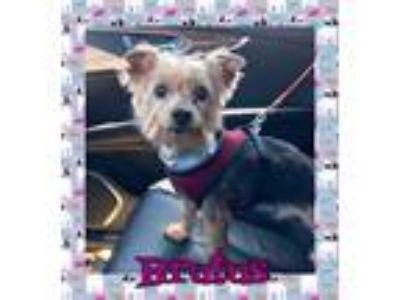 Adopt Brutus a Yorkshire Terrier