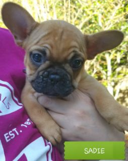 French Bulldog PUPPY FOR SALE ADN-52720 - AKC Champion Bloodline Frenchie Pups Only 1 left
