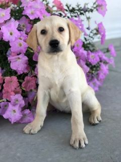 Labrador Retriever PUPPY FOR SALE ADN-93574 - Wonderful Yellow Labs