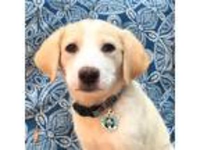 Adopt Jelly a White - with Red, Golden, Orange or Chestnut Labrador Retriever /