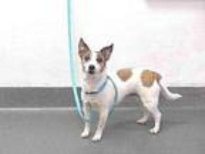 Adopt 19-23461 a Jack Russell Terrier