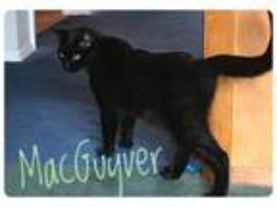 Adopt MacGuyver a Domestic Short Hair