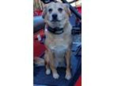 Adopt Lily a Tan/Yellow/Fawn Beagle / Golden Retriever / Mixed dog in Cave