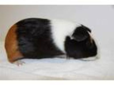 Adopt COCO a Black Guinea Pig / Mixed small animal in Hayward, CA (25353517)