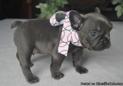 ASTONISHING M/F FRENCH BULLDOG PUPPIES Available For Sale