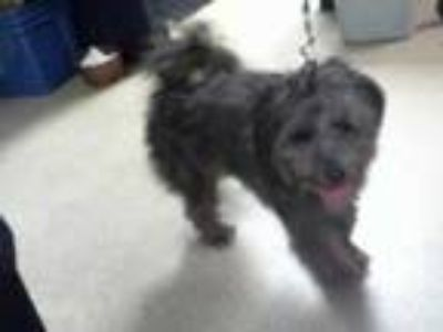Adopt a Black Scottie, Scottish Terrier / Mixed dog in Charlotte, NC (25576982)