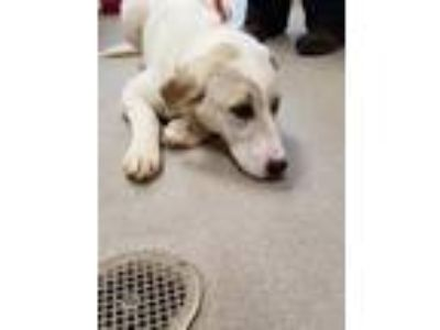 Adopt Violet 114924 a White Great Pyrenees dog in Joplin, MO (25235803)