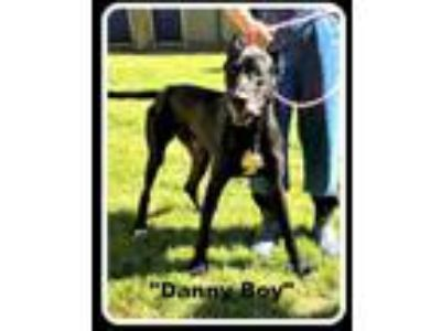 Adopt Danny Boy a Great Dane