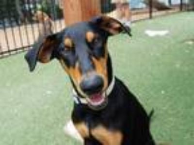 Adopt LILY a Black - with Tan, Yellow or Fawn Doberman Pinscher / German