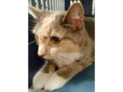 Adopt Angel a Domestic Shorthair / Mixed cat in Pittsburgh, PA (25365918)