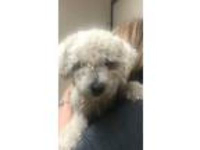 Adopt Happy a White Poodle (Miniature) / Mixed dog in Beverly Hills