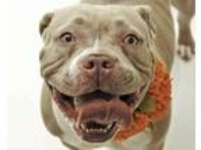 Adopt SASHA a Tan/Yellow/Fawn - with White American Pit Bull Terrier / Mixed dog