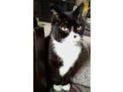 Adopt Ollie a Black & White or Tuxedo Domestic Shorthair (short coat) cat in N.