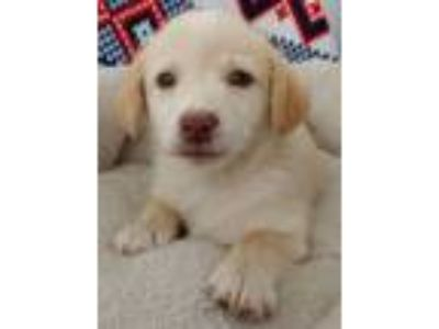 Adopt Janet a Golden Retriever, Yellow Labrador Retriever