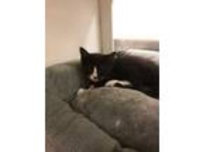 Adopt Peter Piper a All Black Domestic Longhair / Domestic Shorthair / Mixed cat