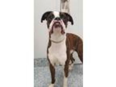 Adopt Nubbins a Boxer / Mixed dog in Angola, IN (25313591)