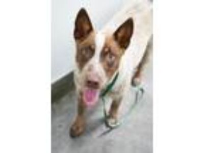 Adopt Ryan a Australian Cattle Dog / Blue Heeler, Mixed Breed
