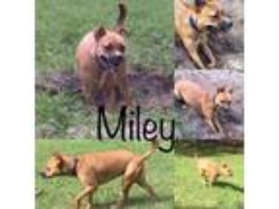Adopt MILEY a Terrier, Cattle Dog