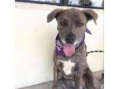 Adopt Roxy a Pit Bull Terrier, Great Dane