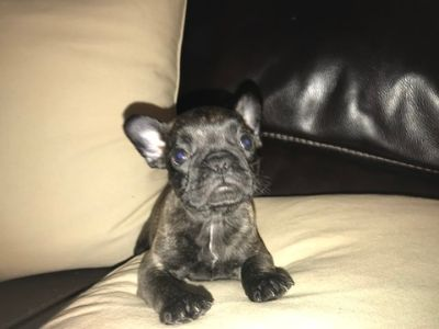French Bulldog PUPPY FOR SALE ADN-91756 - French Bulldogs for sale