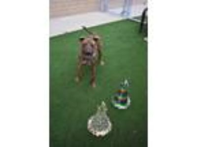 Adopt BUDDY a Brown/Chocolate American Pit Bull Terrier / Mixed dog in