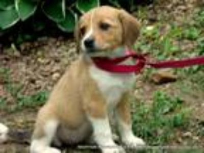 Adopt EEVIE~ADOPTED a Tan/Yellow/Fawn - with White Beagle / Mixed dog in