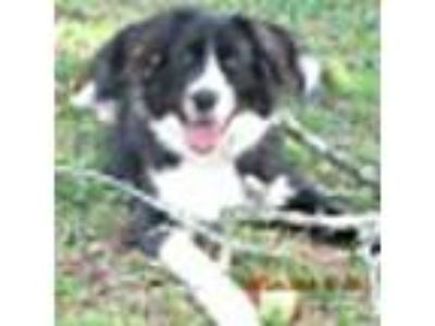 Adopt Tip a Border Collie, Australian Shepherd