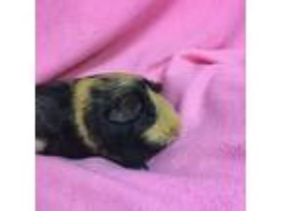 Adopt Cookie a Black Guinea Pig / Guinea Pig / Mixed small animal in Tampa