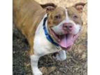 Adopt Deebo a Brown/Chocolate American Staffordshire Terrier / Mixed dog in