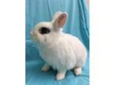 Adopt Simon a White Blanc de Hotot / Mixed (short coat) rabbit in Paramount