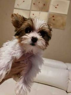 Yorkshire Terrier PUPPY FOR SALE ADN-100753 - AKC Parti Yorkie Puppies