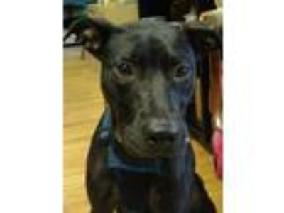 Adopt Janet Bonet a Terrier, Greyhound