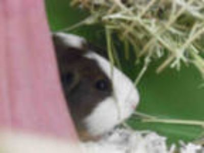 Adopt COCO a Black Guinea Pig / Mixed small animal in Fort Myers, FL (25556656)