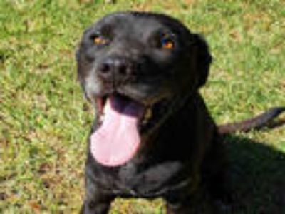Adopt CAZON a Black Labrador Retriever / Mixed dog in Grovetown, GA (23955283)