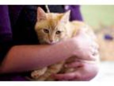 Adopt Sonny a Domestic Short Hair