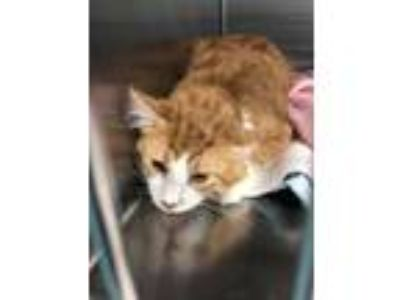 Adopt Sterling a Orange or Red Domestic Longhair / Domestic Shorthair / Mixed