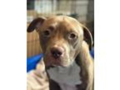 Adopt Patty Pit Bull a Staffordshire Bull Terrier