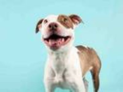 Adopt MAPLE a Pit Bull Terrier, Mixed Breed