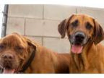 Adopt Scooby/lucky a Brown/Chocolate Black Mouth Cur / Black and Tan Coonhound /