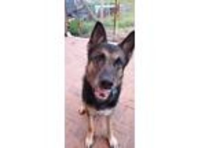 Adopt Rocky a Black - with Tan, Yellow or Fawn German Shepherd Dog / Mixed dog