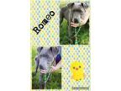 Adopt Romeo a Pit Bull Terrier, Staffordshire Bull Terrier