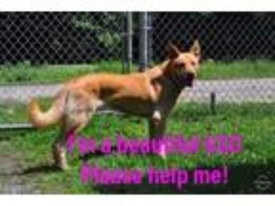 Adopt Maurice Adult Darling Boy AT High Risk in Shelter a German Shepherd Dog /