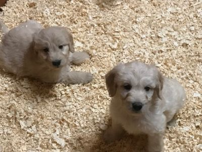 Goldendoodle PUPPY FOR SALE ADN-63837 - Goldendoodle F1 standard  puppies