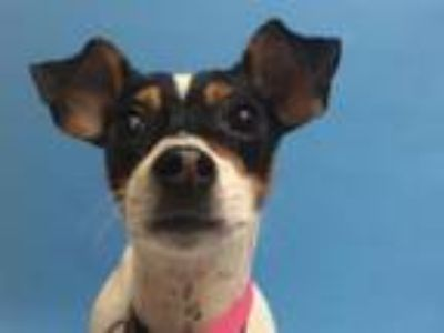 Adopt Pepper Mae a Toy Fox Terrier, Mixed Breed